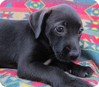 Border Collie/Labrador Retriever Mix Puppy for adoption in Waldron, Arkansas - MIDNIGHT BLU
