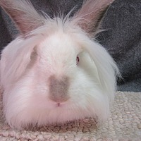 Lionhead Mix for adoption in Newport, Delaware - Lucien
