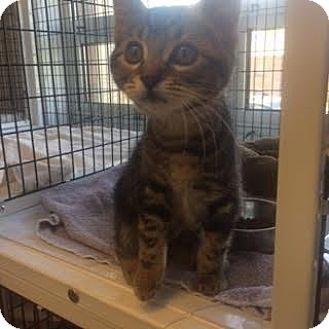 Domestic Shorthair Kitten for adoption in Denver, Colorado - Joan