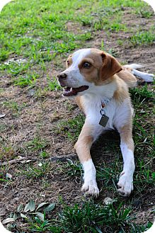 Smooth Fox Terrier/Jack Russell Terrier Mix Dog for adoption in Memphis, Tennessee - Jill