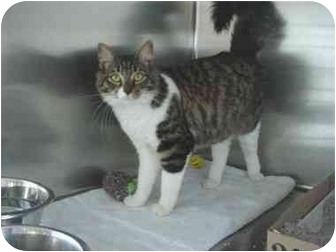 Domestic Mediumhair Cat for adoption in Tracy, California - ginger