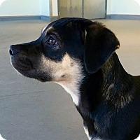 Adopt A Pet :: *Angelica - PENDING - Westport, CT