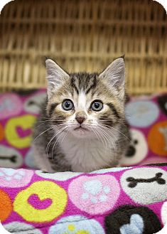 Domestic Shorthair Kitten for adoption in Sterling, Kansas - Charlotte