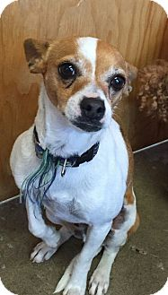 Chihuahua/Terrier (Unknown Type, Small) Mix Dog for adoption in Heber City, Utah - Zuni