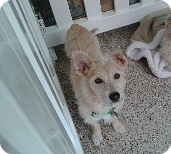 Corgi/Terrier (Unknown Type, Small) Mix Dog for adoption in Thousand Oaks, California - Gelato