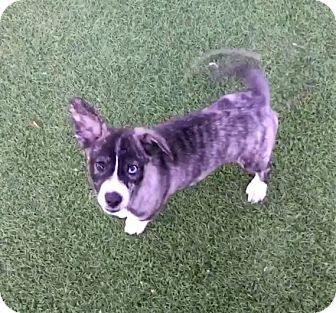 Labrador Retriever Mix Puppy for adoption in New York, New York - Cleo