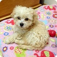Adopt A Pet :: Puppy Bert - Encino, CA