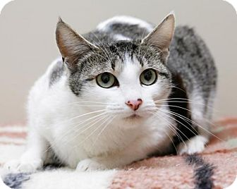 Domestic Shorthair Cat for adoption in Bellingham, Washington - Piglet