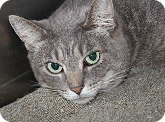 Domestic Shorthair Cat for adoption in Marietta, Ohio - Sugar (Neutered)