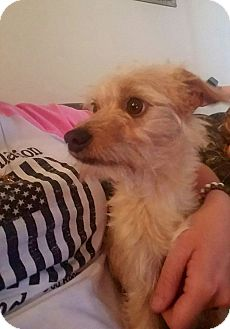 Terrier (Unknown Type, Small) Mix Puppy for adoption in Lehigh Acres, Florida - Ace
