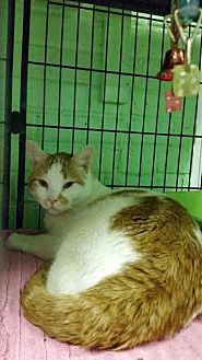 Domestic Shorthair Cat for adoption in Bloomingdale, New Jersey - Barron