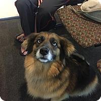 Adopt A Pet :: Bella Sheltie D3489 - Shakopee, MN