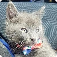 Russian Blue Kitten for adoption in Miami, Florida - Sammy