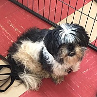Adopt A Pet :: CinCin - Smithtown, NY