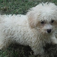 Adopt A Pet :: Pip and poodle mix boys - Flanders, NJ