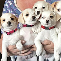 Adopt A Pet :: Terrier Mix Puppies - Pacific Grove, CA