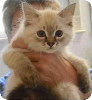 Siamese Kitten for adoption in Statesville, North Carolina - Nottingham