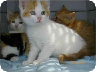 Domestic Shorthair Kitten for adoption in Plymouth, Massachusetts - Kittens need foster homes
