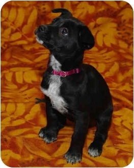 Shepherd (Unknown Type) Mix Puppy for adoption in Westminster, Colorado - Willow
