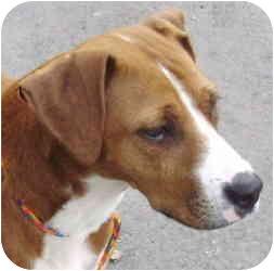 Boxer Mix Dog for adoption in Kansas City, Missouri - Courtesy List-Peaches