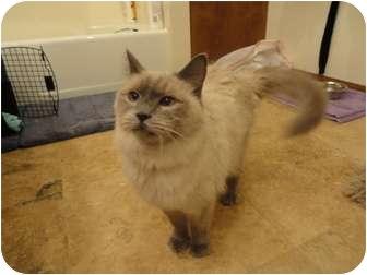 Siamese Cat for adoption in Phoenix, Arizona - Maurice