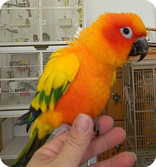 Conure for adoption in Punta Gorda, Florida - Sunny