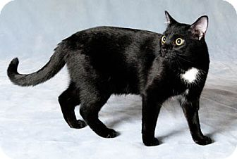 Domestic Shorthair Cat for adoption in Chicago, Illinois - Milkshake