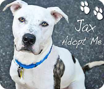American Pit Bull Terrier Mix Dog for adoption in Medford, New Jersey - Jax