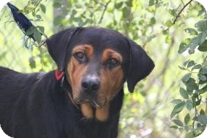 Rottweiler Mix Dog for adoption in Staunton, Virginia - Emmie