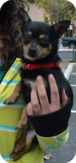 Chihuahua Dog for adoption in Corona, California - MAE