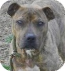 American Pit Bull Terrier/Terrier (Unknown Type, Medium) Mix Dog for adoption in Lincolnton, North Carolina - Fanta