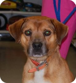 Shepherd (Unknown Type) Mix Dog for adoption in Brooklyn, New York - Johnny