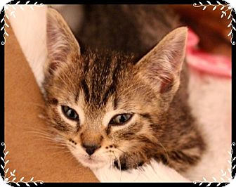 Domestic Shorthair Kitten for adoption in Mt. Prospect, Illinois - Durango