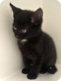 Domestic Shorthair Kitten for adoption in Staunton, Virginia - Midnight