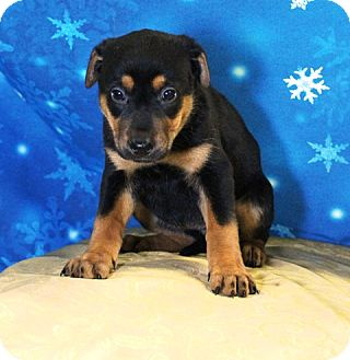 Shepherd (Unknown Type)/Rottweiler Mix Puppy for adoption in Westminster, Colorado - Cupid
