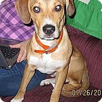 Adopt A Pet :: Linus - Schererville, IN