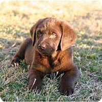 Adopt A Pet :: Angel-Puppy Choco Male Big - Altmonte Springs, FL
