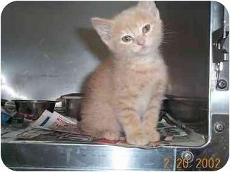 Domestic Shorthair Cat for adoption in Owatonna, Minnesota - 940CS-1