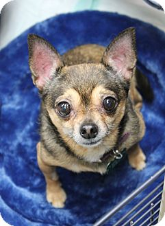 Chihuahua Dog for adoption in Studio City, California - Bonnie