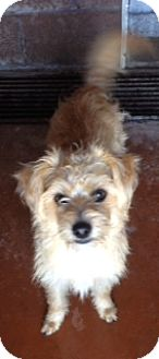 Jack Russell Terrier/Poodle (Miniature) Mix Dog for adoption in Baltimore, Maryland - Doe