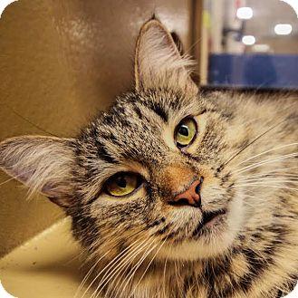 Domestic Mediumhair Cat for adoption in Toronto, Ontario - Hazelnut