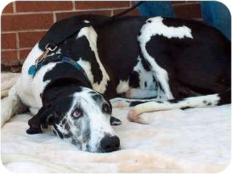Great Dane Dog for adoption in Guthrie, Oklahoma - Harlie