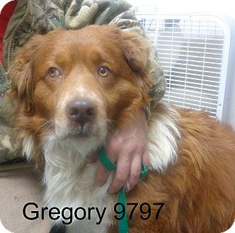 Corgi/St. Bernard Mix Dog for adoption in Manassas, Virginia - Gregory