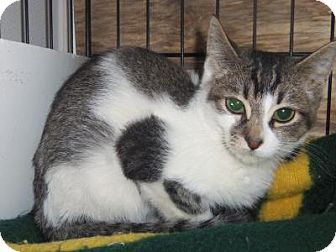 Domestic Shorthair Cat for adoption in Medford, Wisconsin - GREYSON