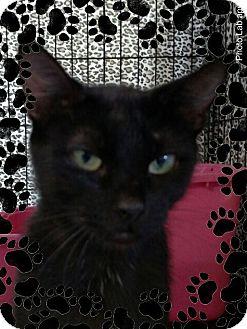 Domestic Shorthair Kitten for adoption in Pueblo West, Colorado - #8