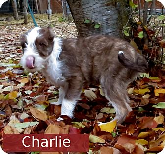 Terrier (Unknown Type, Small) Mix Dog for adoption in Colville, Washington - Puppies