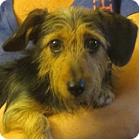 Adopt A Pet :: Annalise - Salem, NH
