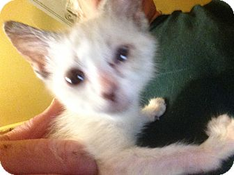 Siamese Kitten for adoption in Beeville, Texas - Buddha