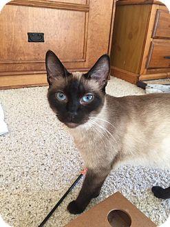 Siamese Cat for adoption in Modesto, California - Hope