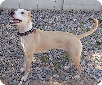 Whippet/Greyhound Mix Dog for adoption in Phoenix, Arizona - Aspen